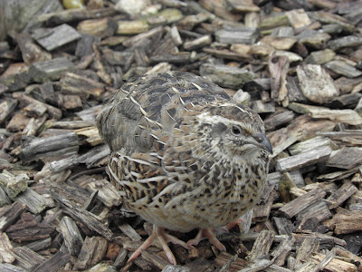 Quail in the backgarden