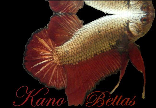 Kano Bettas