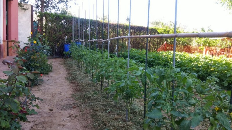 El huerto del lopez retirada de pl stico y entutorado - Tutores para tomates ...