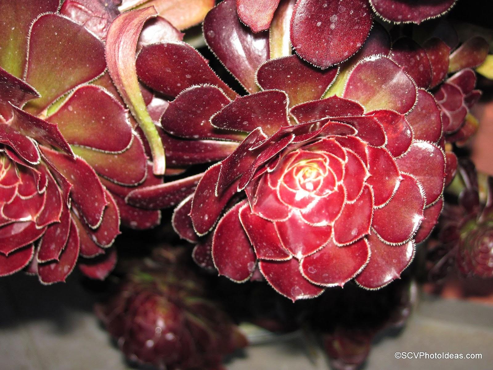 """Aeonium Arboreum Var. Atropurpureum """"Schwartzkopf"""" bunch"""