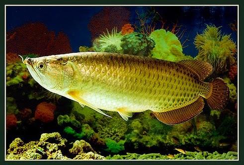 cá cảnh, bể cá, phong thủy, golden palace