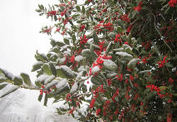 American Holly Loaded with Berries and the First Snow