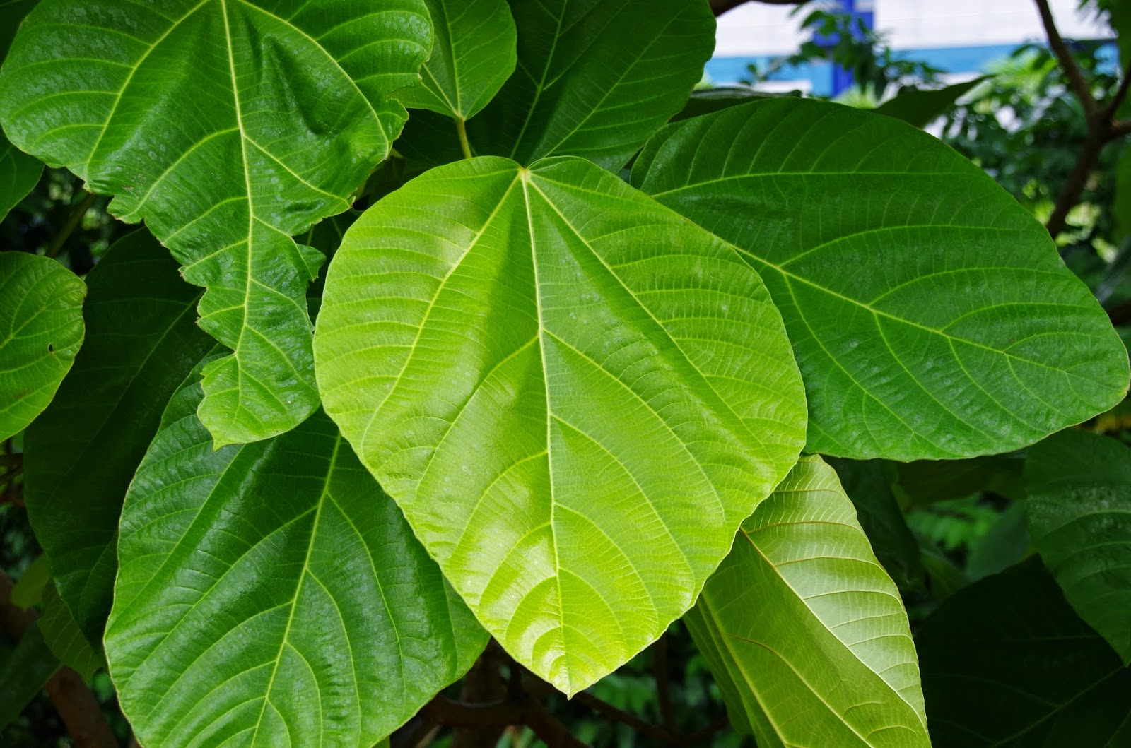 Trees And Plants Broad Leaf Fig Elephant Ear Fig