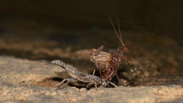 emerging stonefly - a winter stonefly