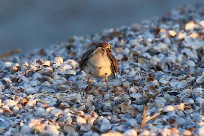 Малый зуек (Charadrius dubius) Little Ringed Plover