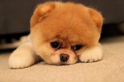 http://kidblog.org/VICTORIAGUERRERO/3077ab86-c80a-483c-a226-f6122bb8bc7d/boo-el-perro-mas-bonito-y-pequeno-del-mundo-es-un-exito-en-facebook/