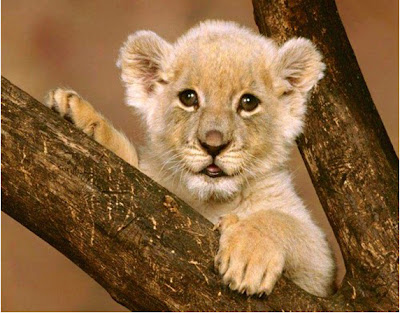 blissfully-cute-baby-animals-lion-cub