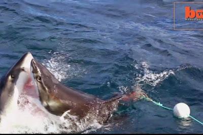 καρχαρίας, Carcharodon, μάχη