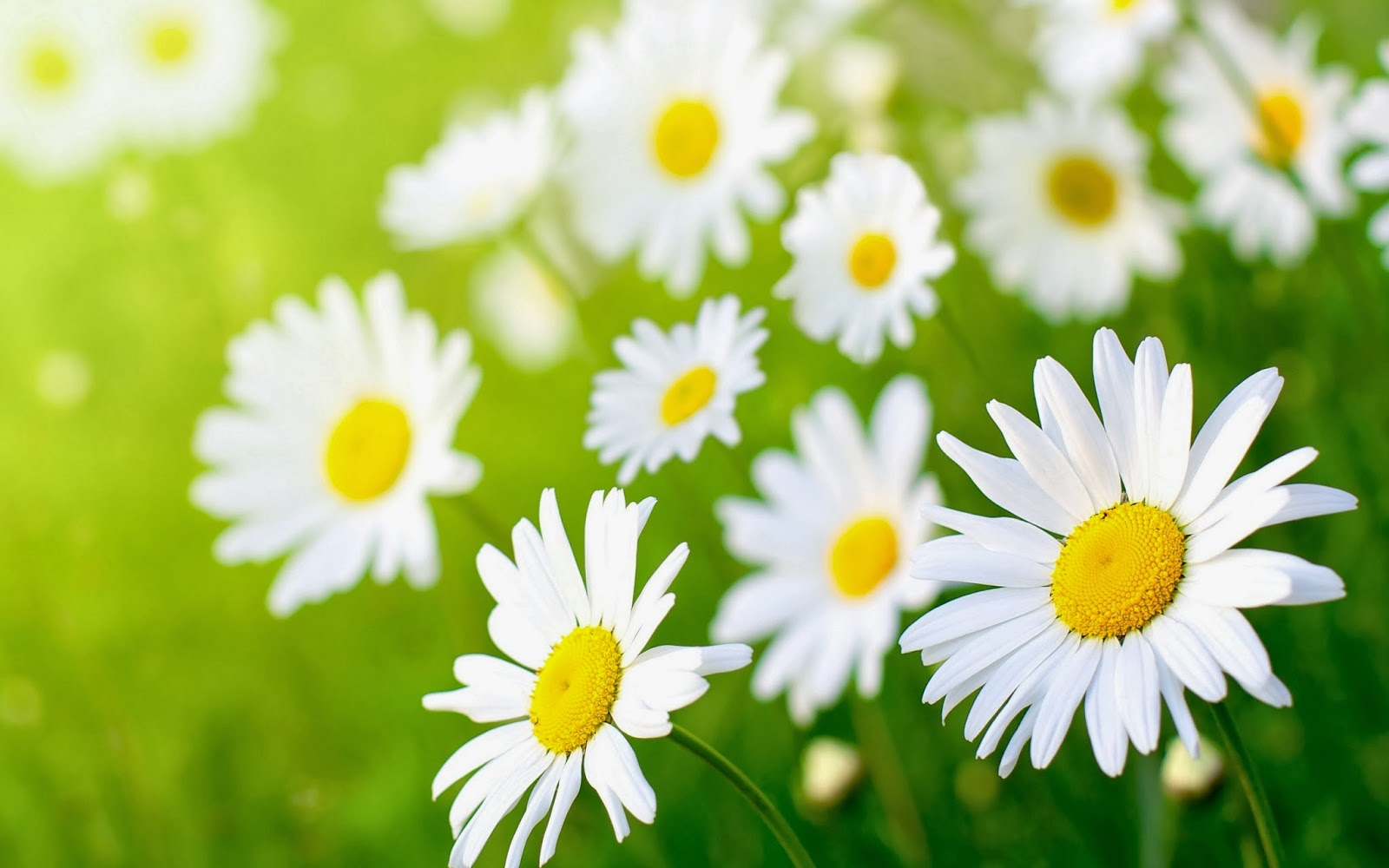 Daisy flower wallpaper beautiful desktop wallpapers 2014