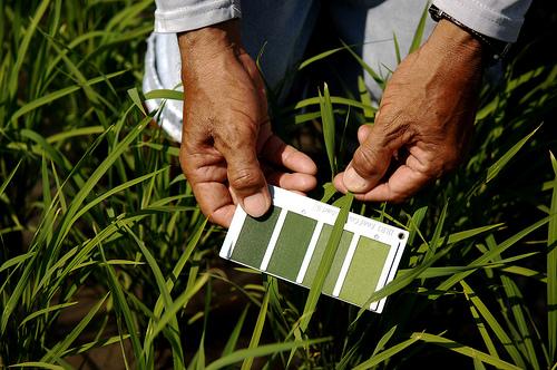 Irri News App To Gauge Rice Crop Health Via Phone Image Wins Award