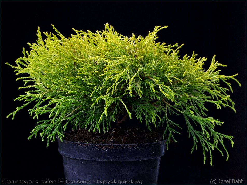 Chamaecyparis pisifera 'Filifera Aurea' - Cyprysik groszkowy 'Filifera Aurea'