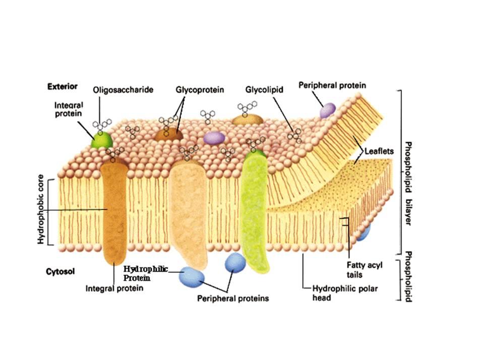 Membran sel biosman8pku membran sel ccuart Choice Image
