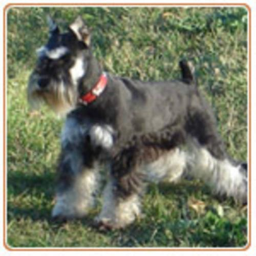 Cute Dogs: Miniature Schnauzer Puppies Salt and Pepper