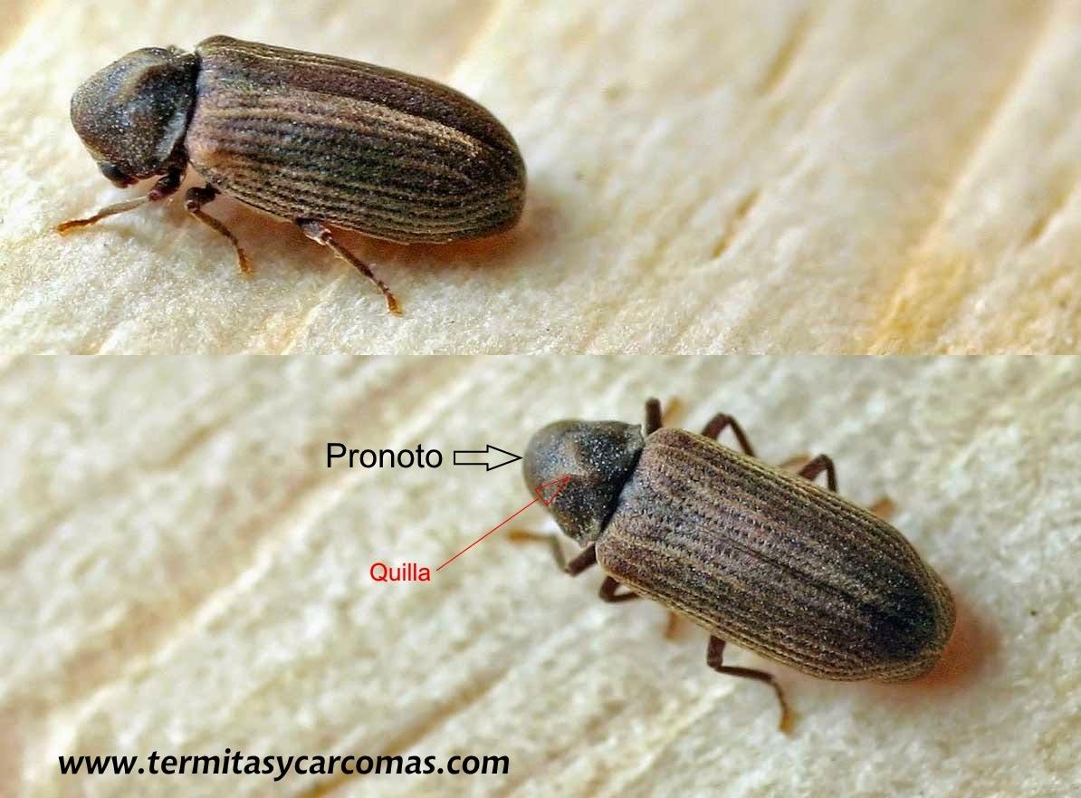 Termitas y carcomas carcoma de los muebles anobium - Carcoma en los muebles ...