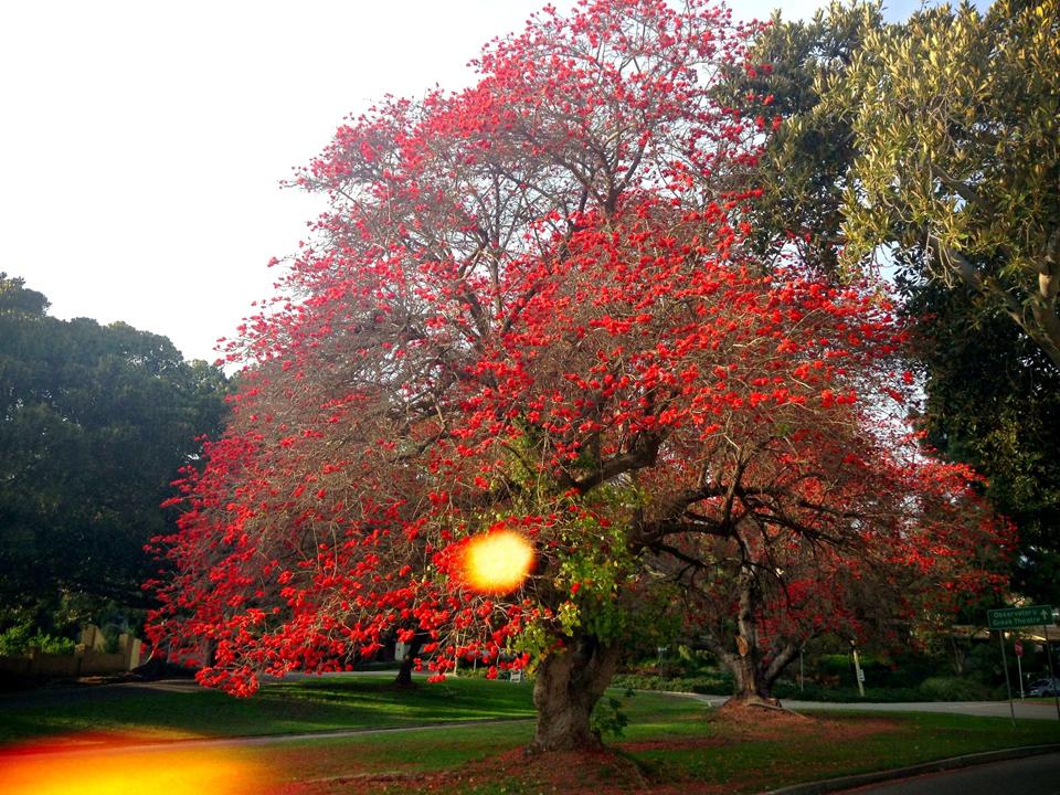 Coast Coral Tree