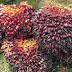 Harga sawit semakin naik buah rawan di curi