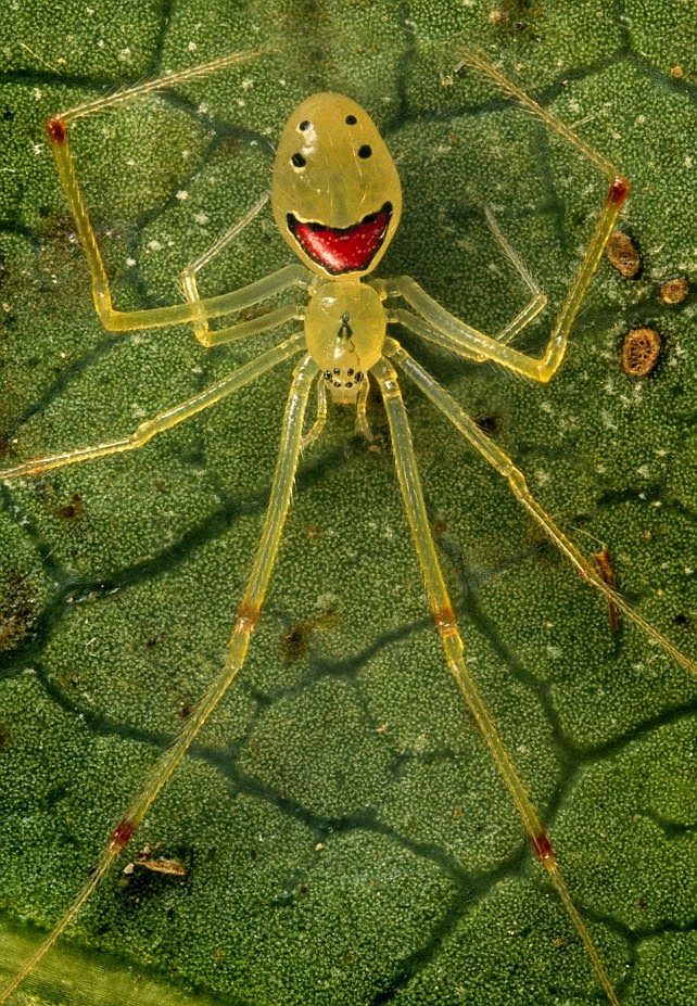 Spider Smiling - species that looks like it smiles