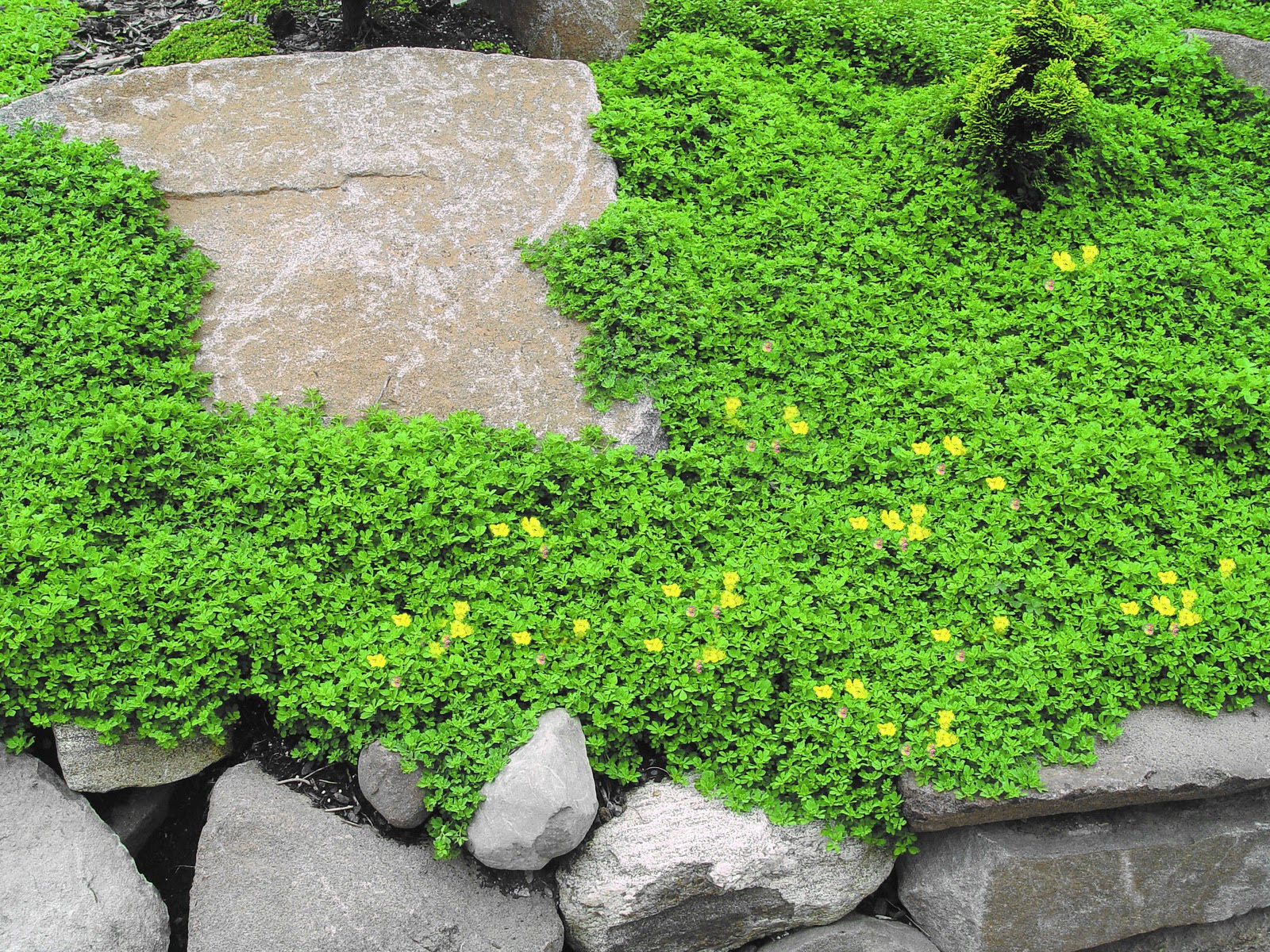 arte y jardiner a plantas tapizantes