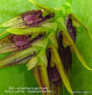 Pleurothallis  pectinata, microorquidea
