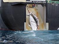 Decisão do Tribunal dos Estados Unidos é favorável aos caçadores de baleias