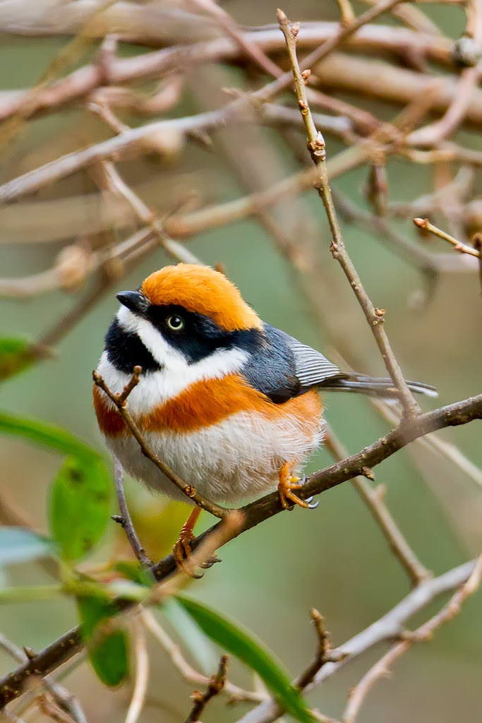 Black Throated Bushtit