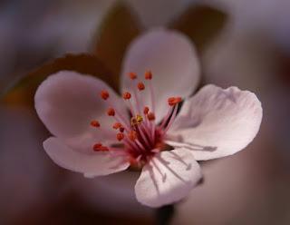 rožnati cvet kakor poljub │ na zlomljeni veji │ še poje ljubezen