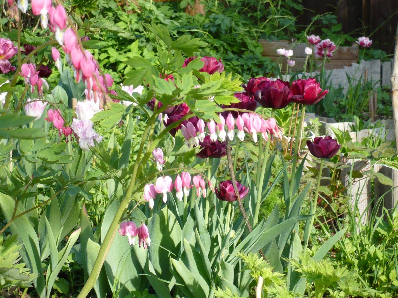 Тюльпаны на урале когда сажают 61