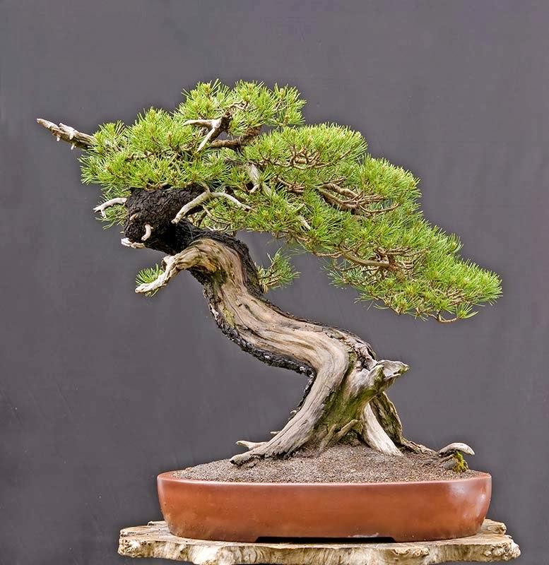 walter pall bonsai adventures mugo pine 11. Black Bedroom Furniture Sets. Home Design Ideas