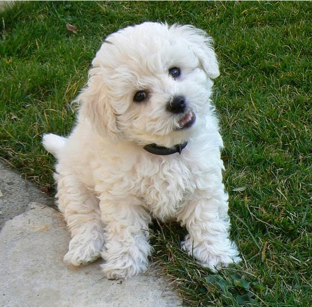 Cute Bichon Frise Puppy in Garden