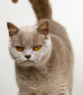 Burmese Cat Pictures
