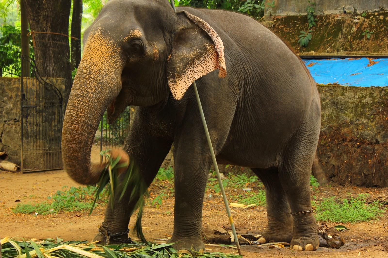 Elephants and Hindu temples,Kerala - Navrang India