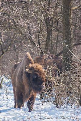 Zimbri Bucsani-Wisent/European Bison-Bison bonasus-Zimbraria Neagra Bucsani-Targoviste-Dambovita