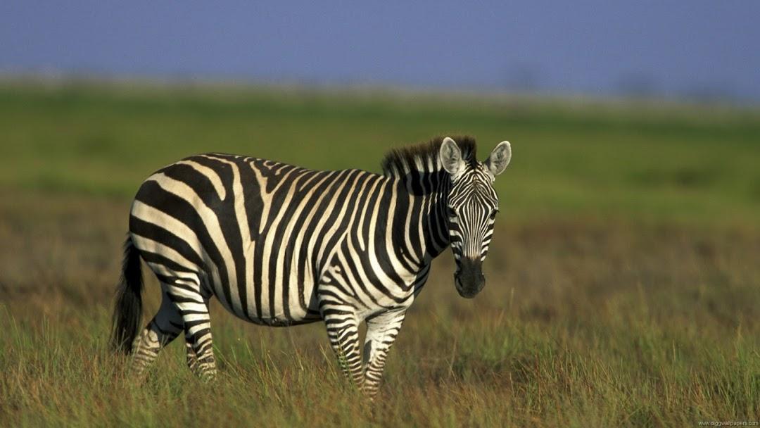 Zebra HD Wallpaper 9