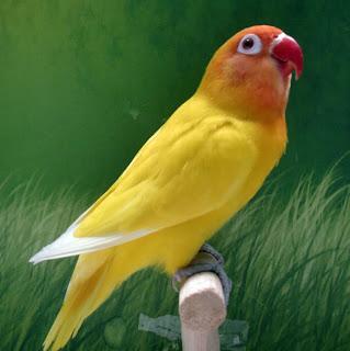 Tips Melatih Mental Burung Lovebird Sejak Kecil