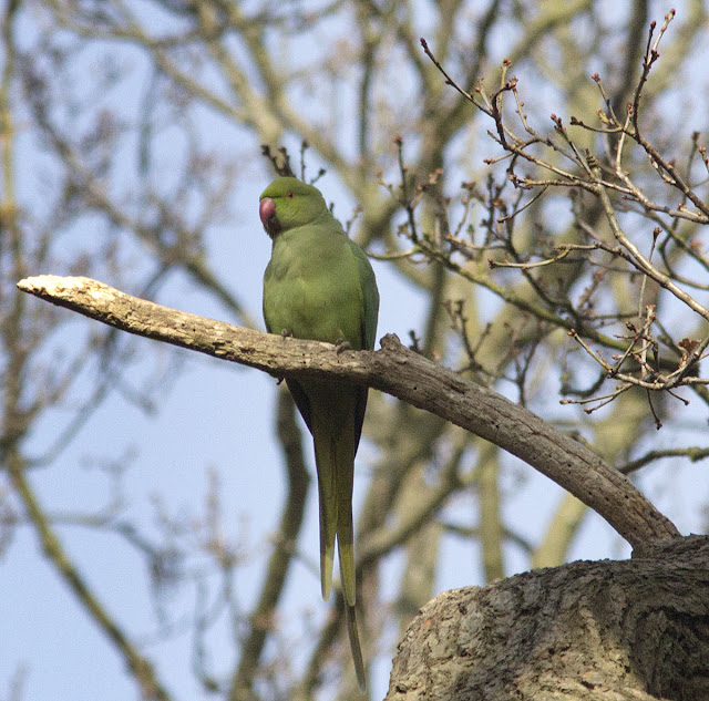 Rose-ringed Parakeet, Psittacula krameri.  Juvenile or female.  Bird walk in Jubilee Country Park, 24 March 2012.