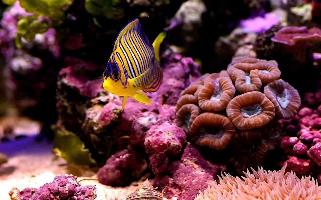 Imagenes de Peces en Arrecifes de Coral Un Pez Amarillo