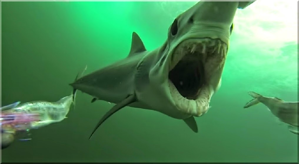 Mako shark pursues and bites at prey