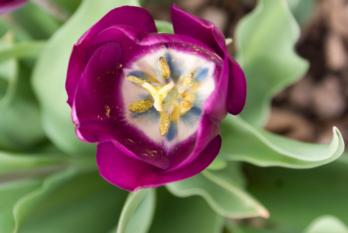 Flowers World Deep Purple Tulip White Blue Center