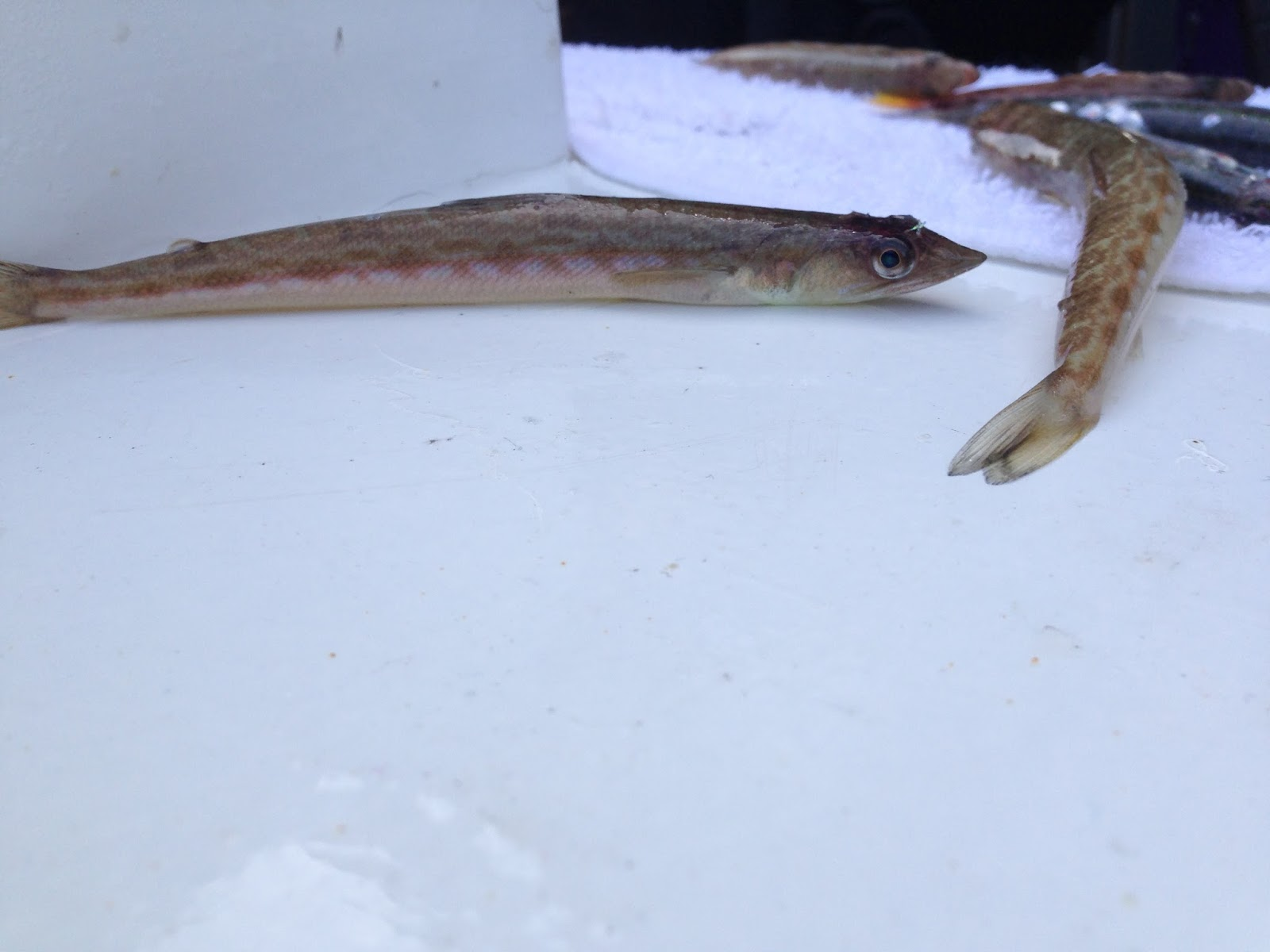 Debi shearwater 39 s journeys half moon bay pelagic trip for Warm water fish