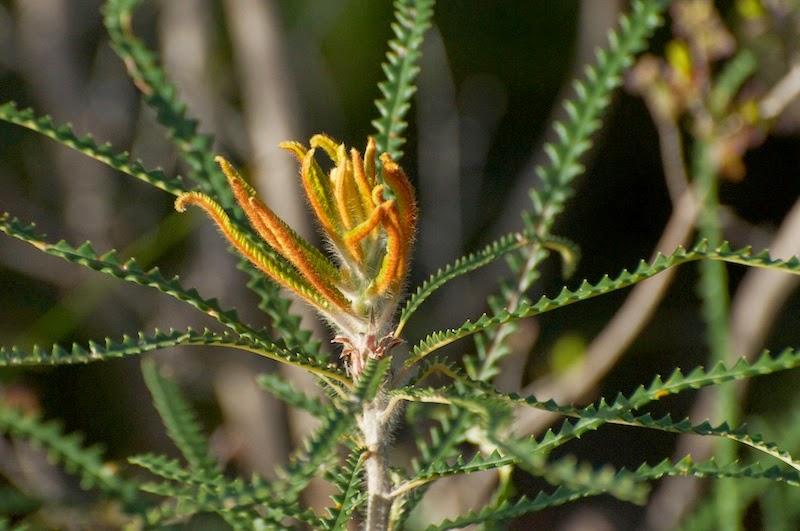 Banksia (Dryandra) sp