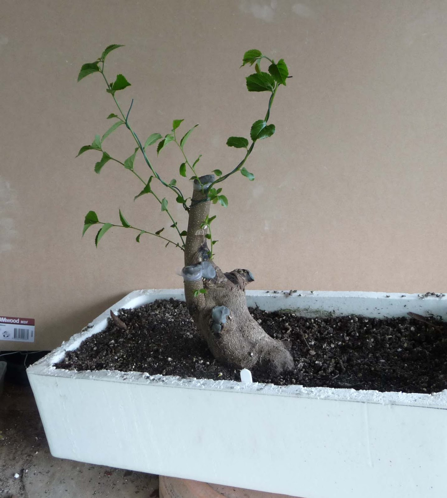Bonsai Amp Pottery Post 120 Celtis Update