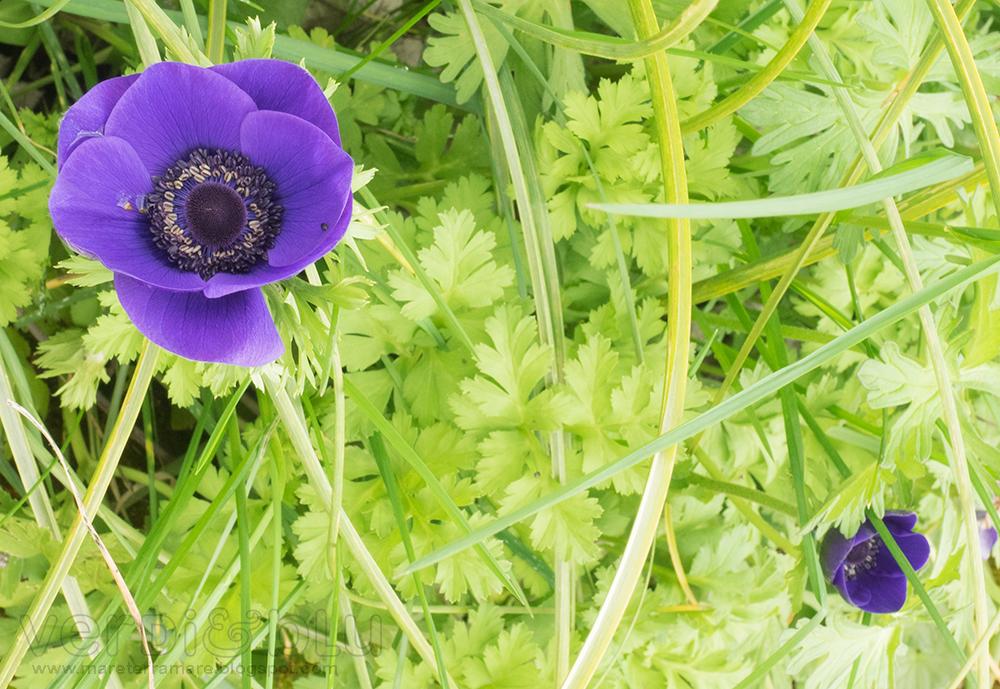 anemoni (Anemone Stellato - Anemone hortensis)