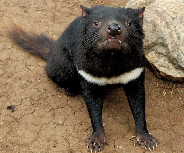 Tasmanian devil the biggest animals kingdom - Tasmanian devil pics ...