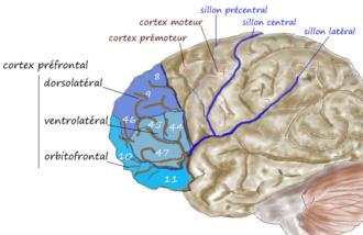 Cortex préfrontal dorsolatéral, ventrolatéral et orbitofrontal