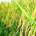 Việt Nam chuẩn bị xuất khẩu 200 ngàn tấn gạo cho Indonesia