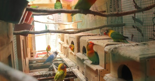 cara menjodohkan burung lovebird