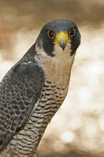 وجدت على مستوى العالم، صقور الشاهين(الجوالة) التي تستخدم فى الصيد بكفاءة، وتعتبر من المخلوقاتِ الأسرعِ على وجه الأرضِ. يُمْكِنُ أَن تصل بسرعةَ 200 ميلِ بالسّاعة عندما تلاحق طائرا آخر - وهي سرعة كبيرة بما فيه الكفاية لإفتِراس الغربانِ وطيورِ العقعق، والغربان المقنّعةِ
