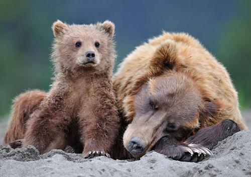 Urso com o filhote