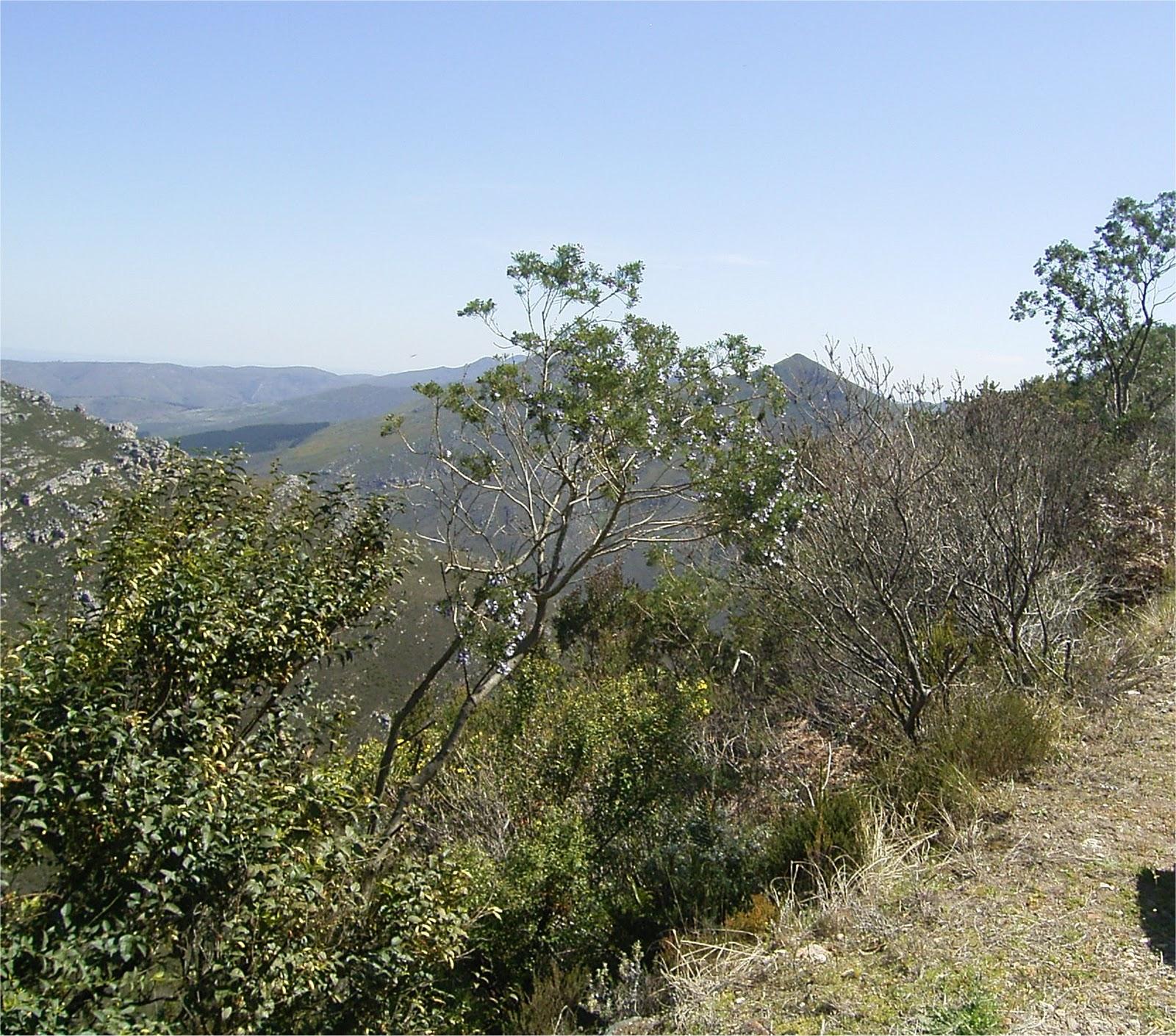Psoralea affinis