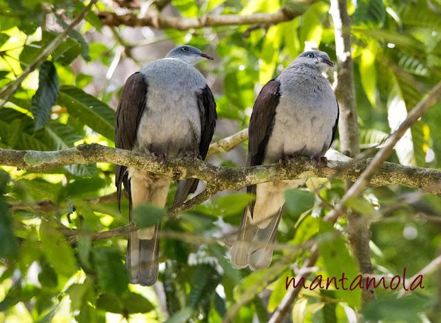 Kaeng Krachan, Mountain Imperial Pigeon
